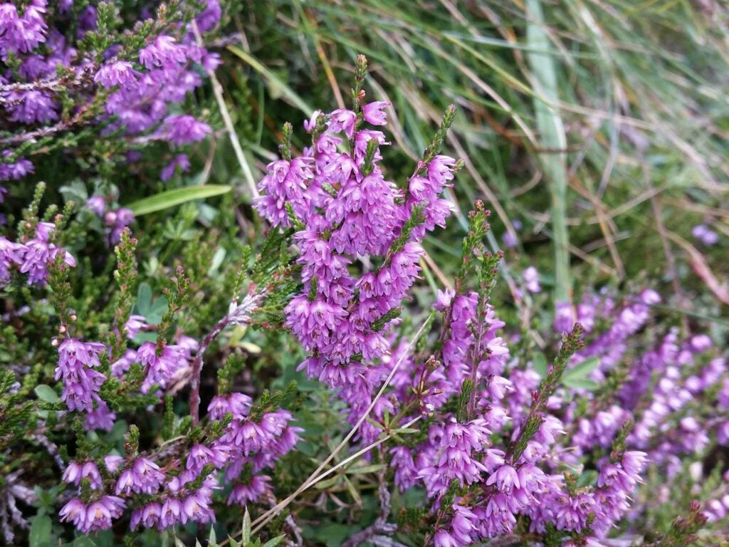 heather blossoms scotland