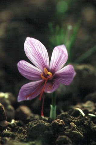 httpswww.saveur.comsitessaveur.comfilesimport2007images2007-1206_buying-saffron_30.jpg