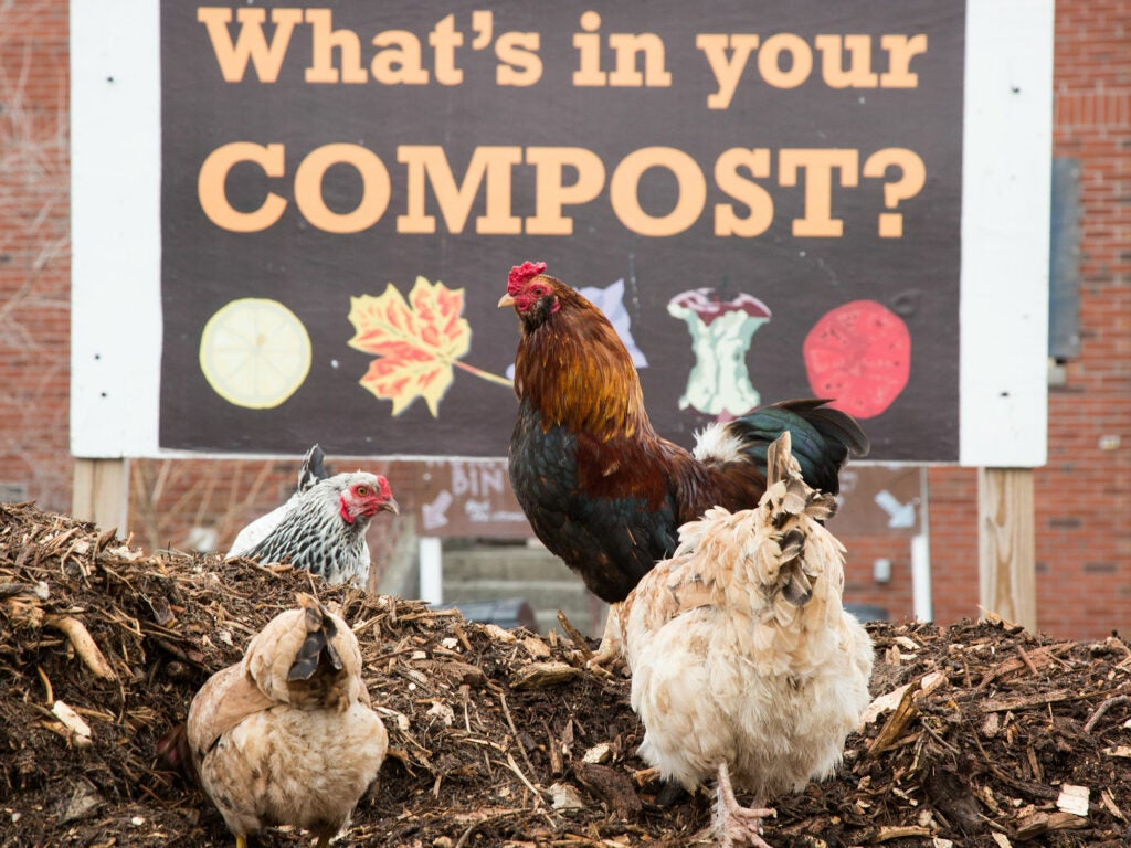 Grow NYC compost and Rooster