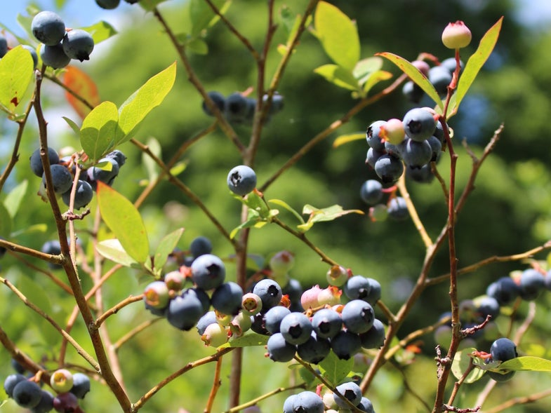 A Different Wild Blueberry, a Different Upside-Down Cake