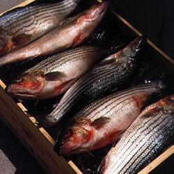 Striped Bass—Wild or Farmed?