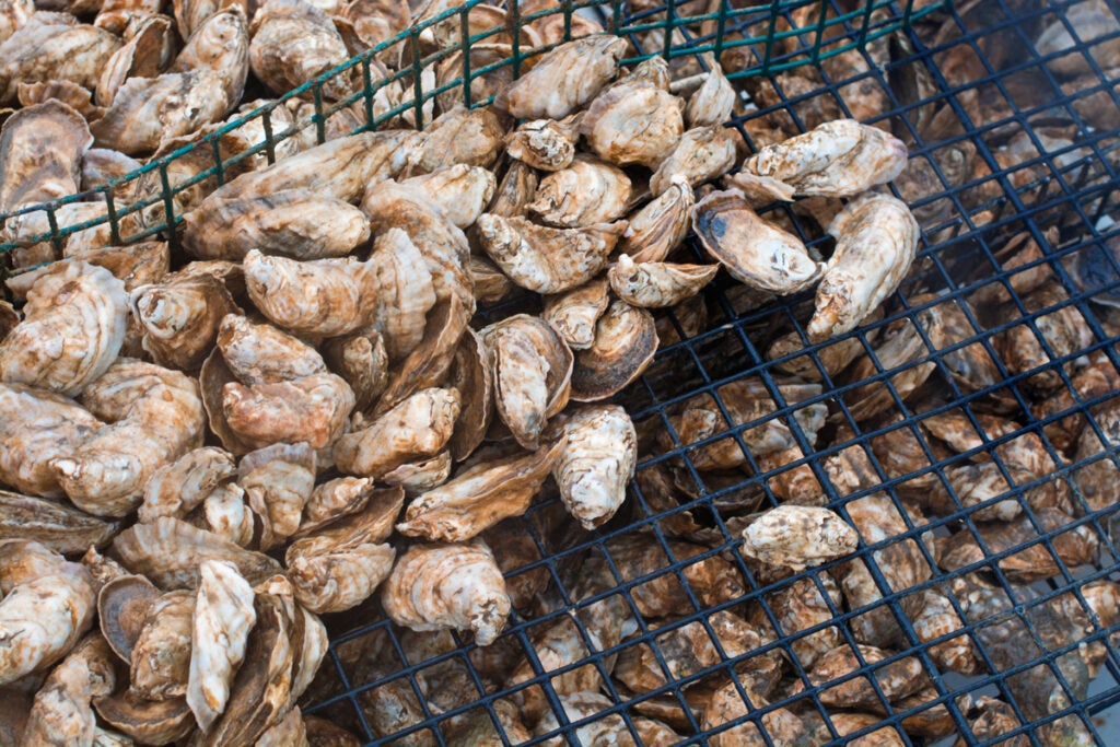 Oysters straight from the bay
