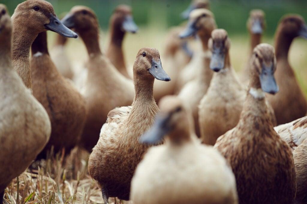 whatley farm ducks