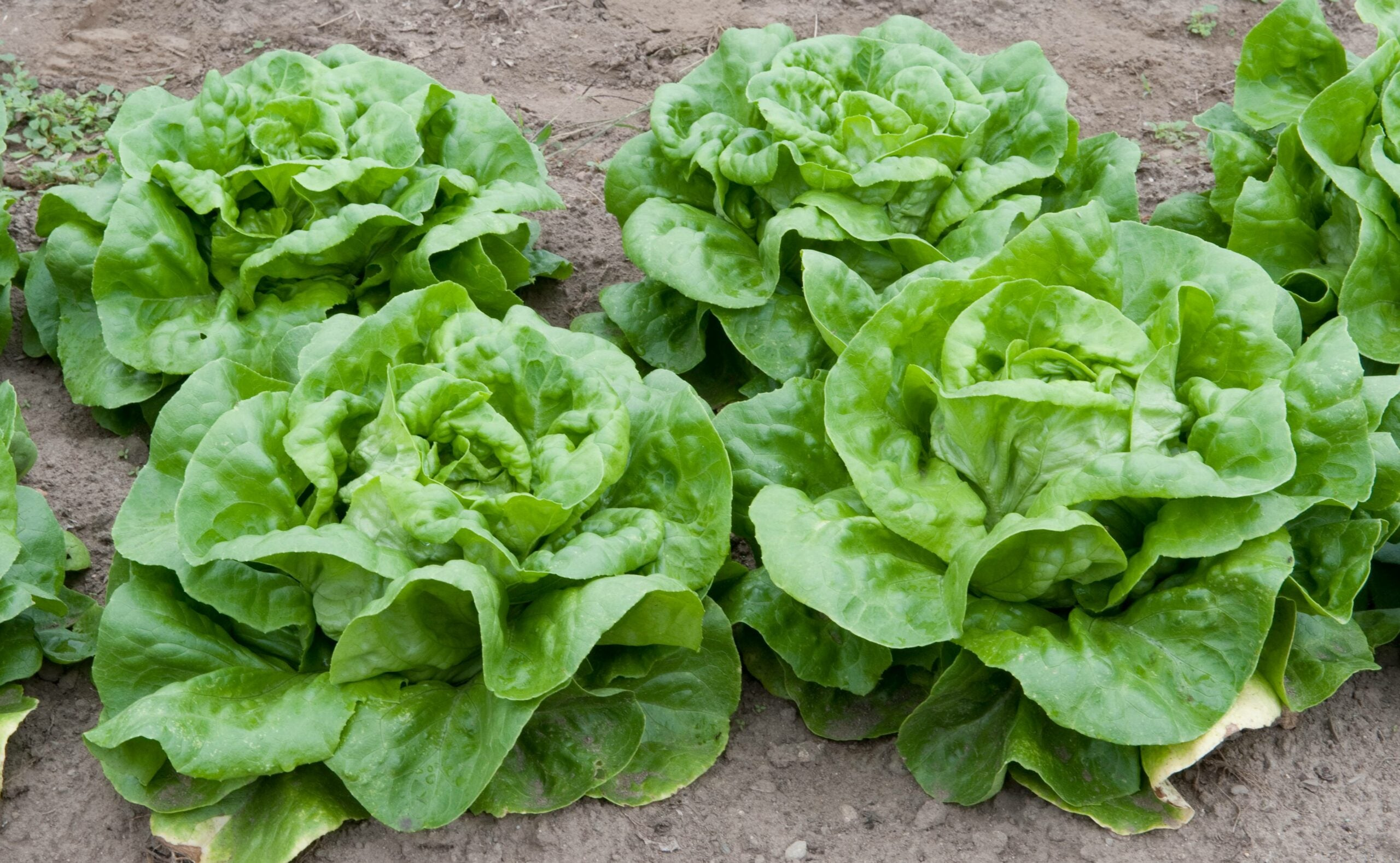 Your Leafy Greens Might Soon Be Harvested By Robots