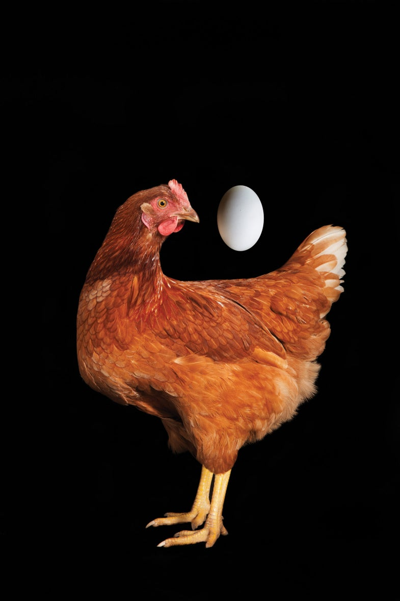 How the Chicken Became Our National Bird