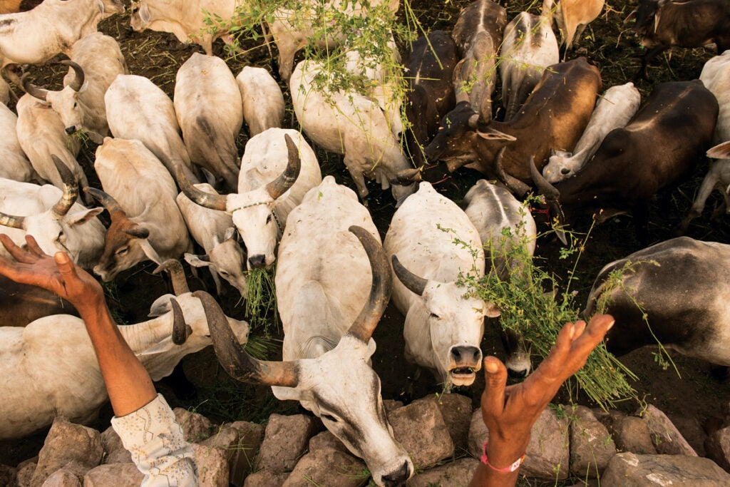 feature_west-india_bhuj_cows_1200x800.jpg