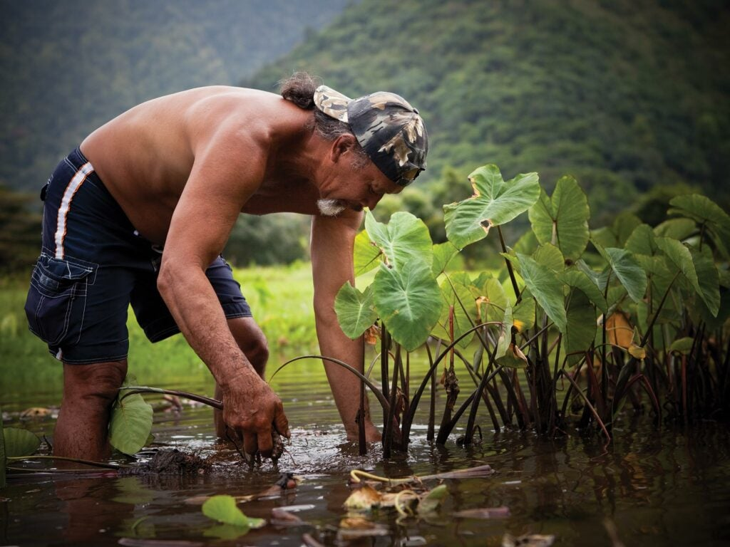 Harvesting Taro