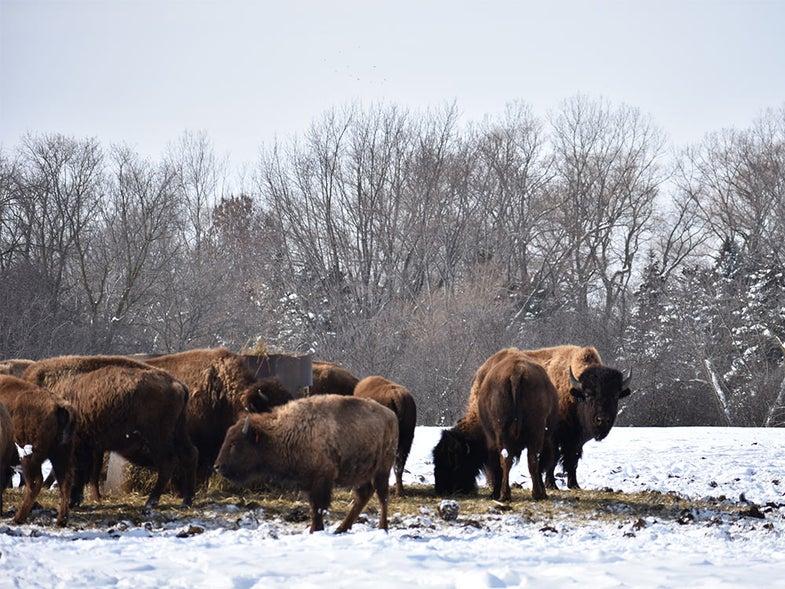 Bison Meat is Overtaking Cow's Milk in America's Dairyland