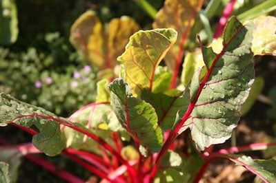 Swiss Chard from Added Value Farm
