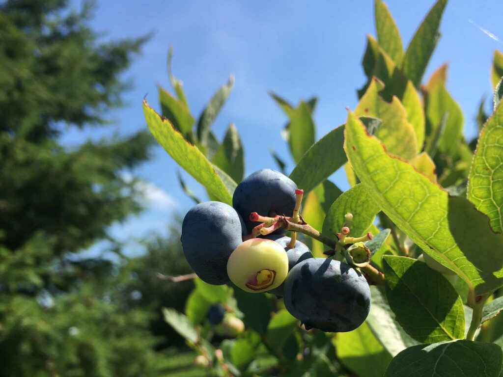 """Blueberry"