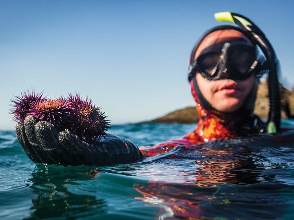freediving for purple urchins