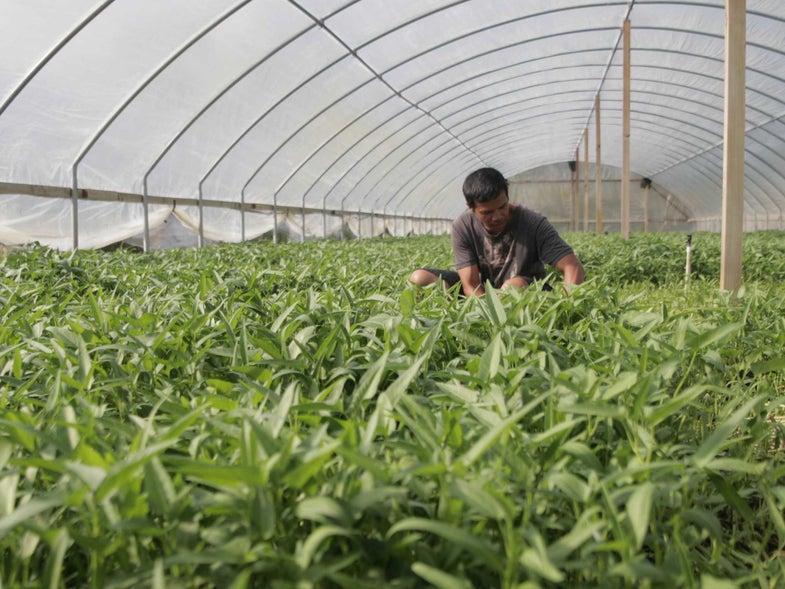 water spinach farmer