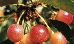 The Triumph of Cherries