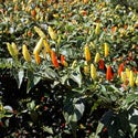 Postcard: Picking Tabasco Peppers on Avery Island, LA