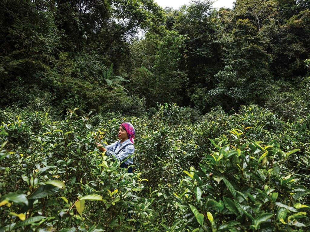 Dabu tends to pu-erh trees in China