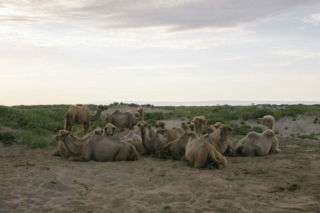 """""""Camels"""""""
