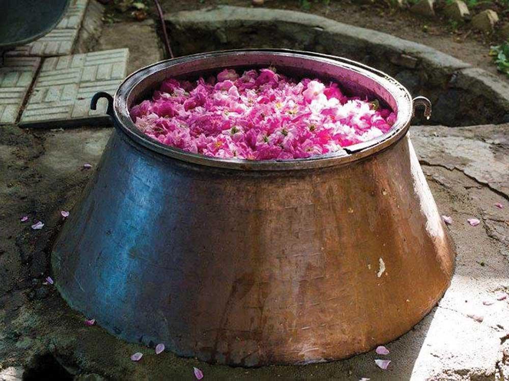 harvesting roses in Iran