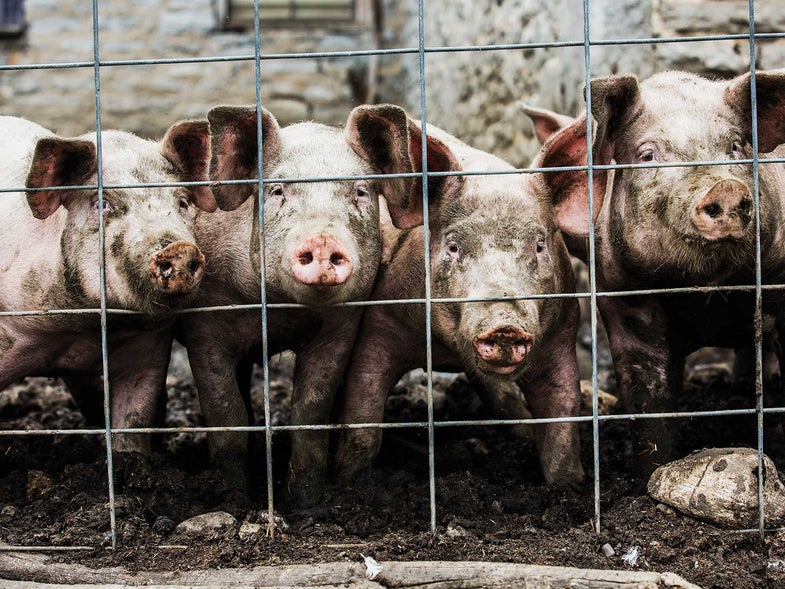 A Visit with a Pig Farmer on Lard-Rendering Day