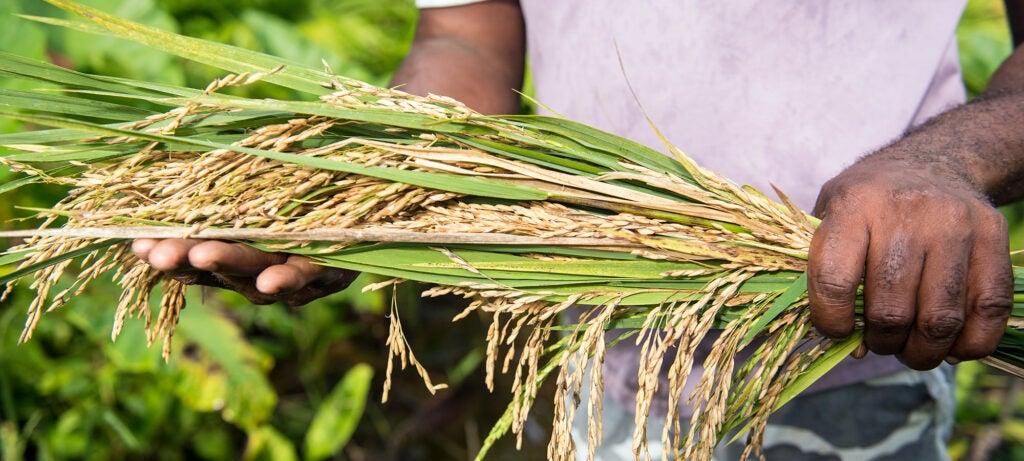 rice culms