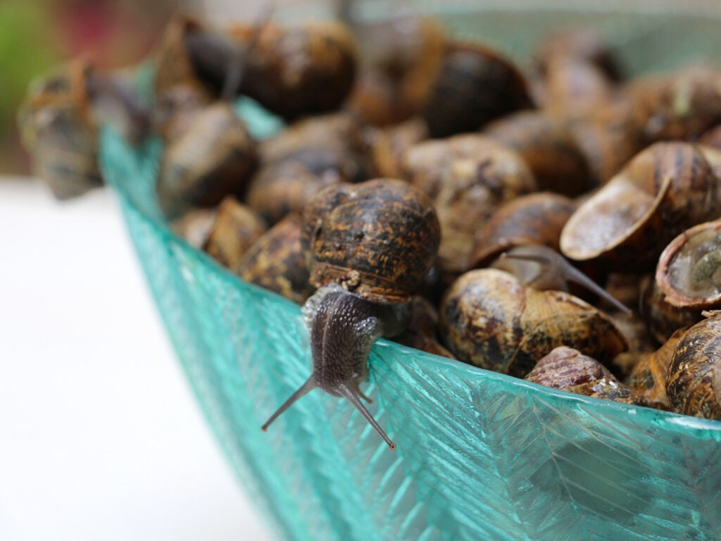 Live snails about to be stuffed and grilled