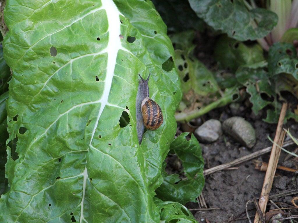 a snail climbs across a leaf of Swiss chard