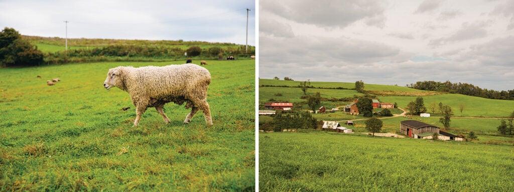 Leicester Longwool ram on the farm