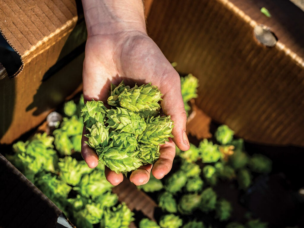Freshly picked hop cones in hand