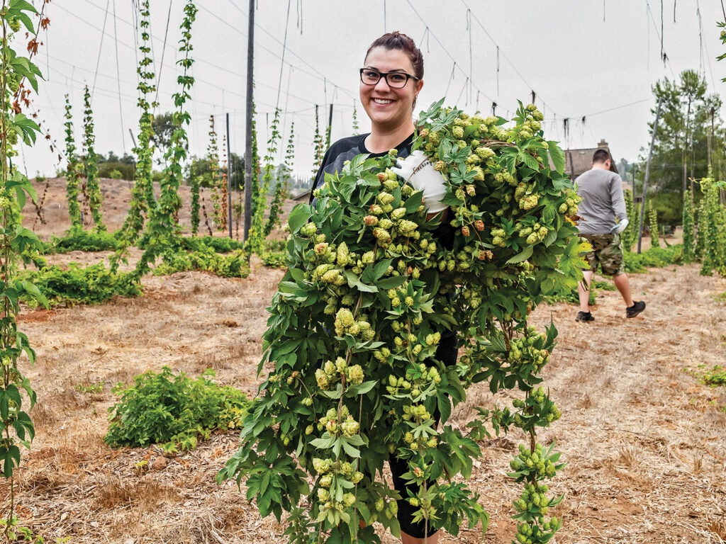 Jenni Johnston with armful of hop bines