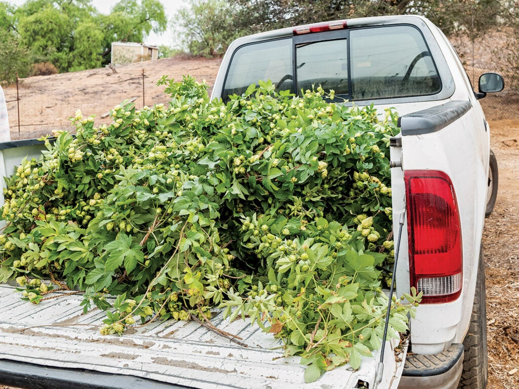 Hop bines in the bed of white truck