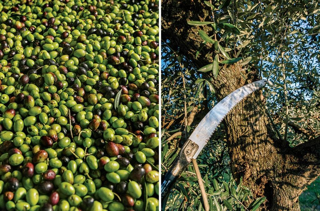 Casaliva olives and harvesting tools