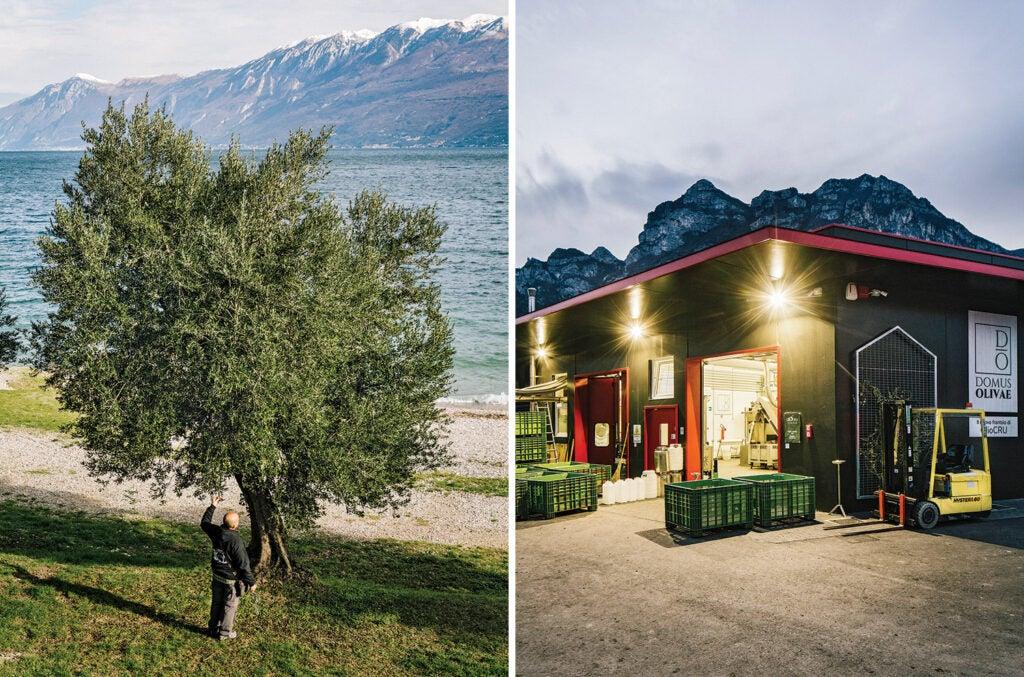 Olive trees and Domus Olivae