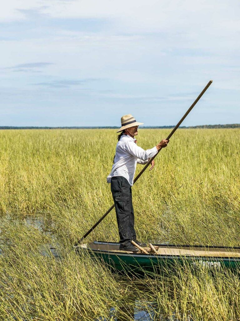 Standing up with a pole and canoe in field of wild rice.