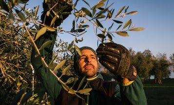 Meet the Tree Pruner Behind Some of Italy's Best and Rarest Olive Oils
