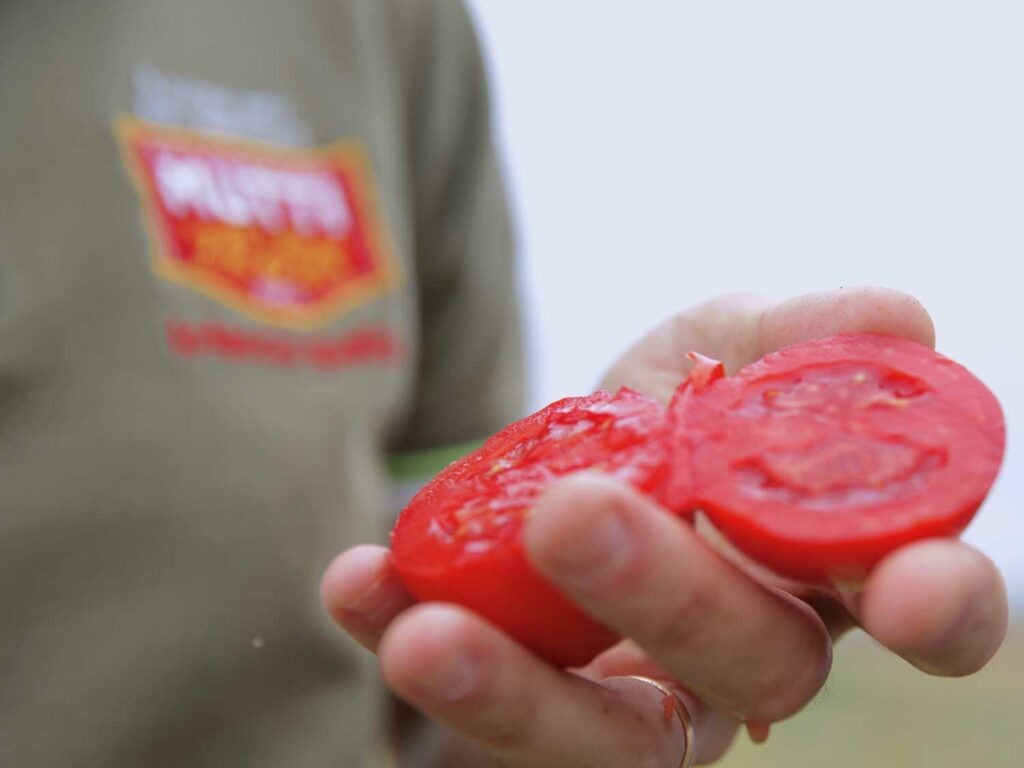 Freshly picked, sun-ripened tomato.
