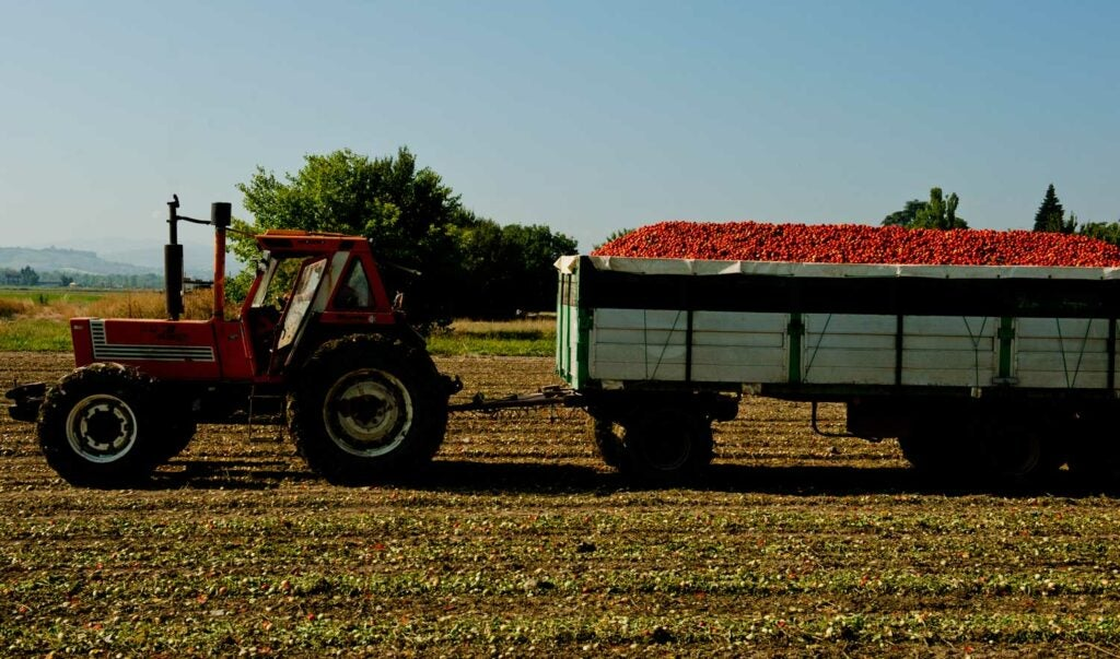 Harvesting tomatoes in Italy's Food Valley.
