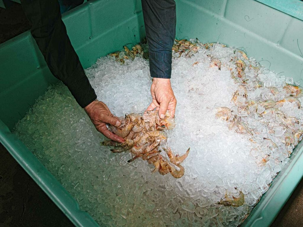Fresh shrimp on ice after a day's harvest.