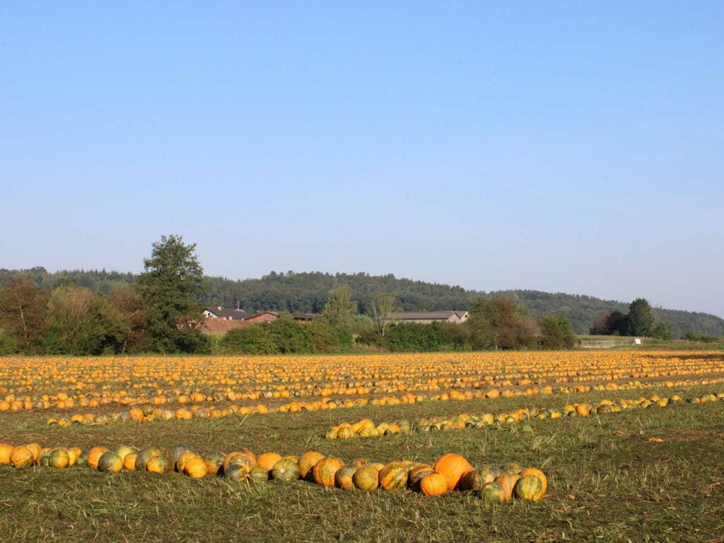 Pumpkins ready for harvest at Martin Farms in Brockport, a western suburb of Rochester, NY.