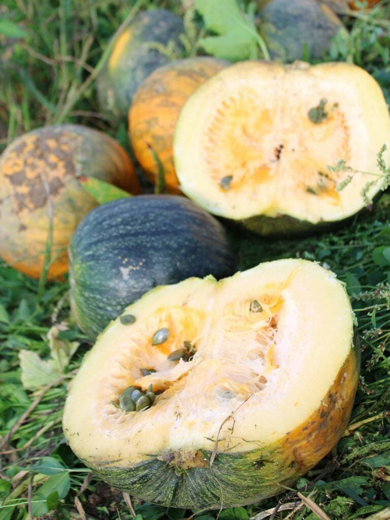 Styrian pumpkins: dark forest green on the outside and orange on the inside.