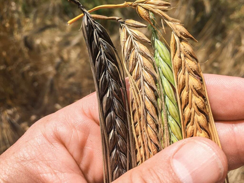 Person holding barley.
