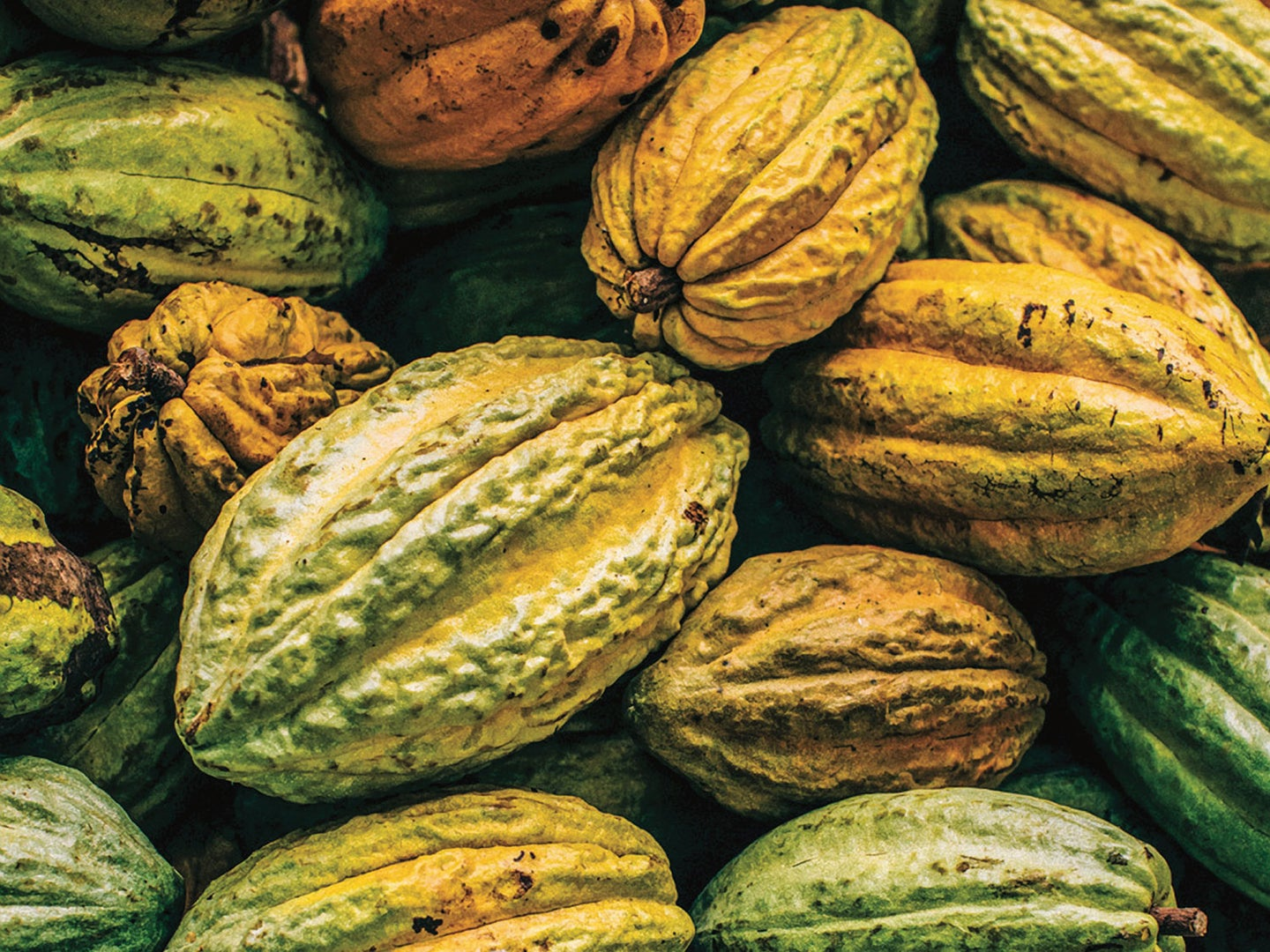 Fresh cocoa fruit ready to be processed.