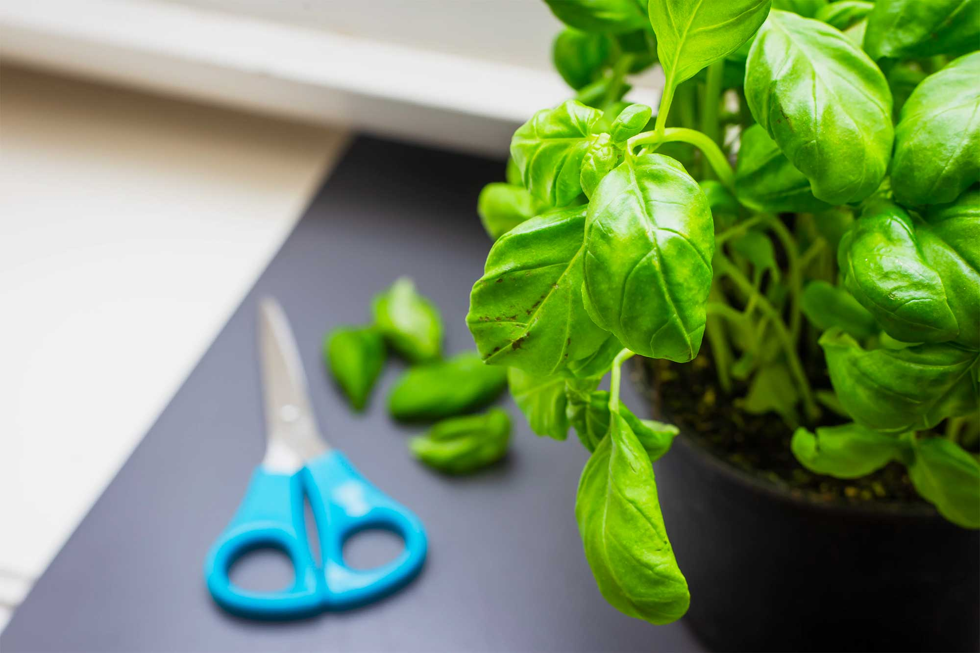 Basil plant with kitchen shears in the background