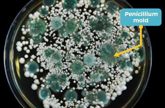 Blue mold growing on a petri dish