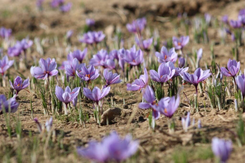 Crocus Field of Saffron Flowers from Moonflower