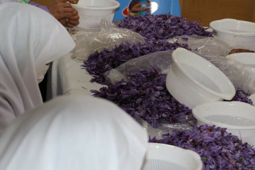Women Harvesting Saffron from Corcuses in Afghanistan