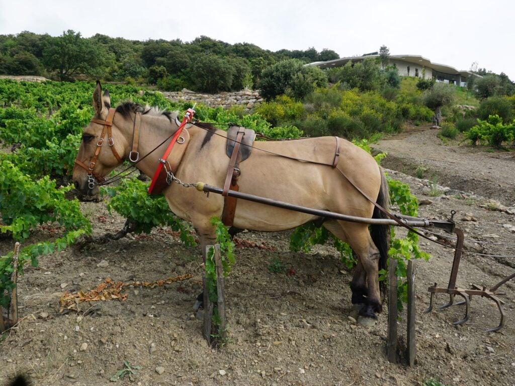 Biodynamic Viticulture Mule to Aerate Soil Rose